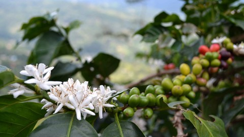 From Coffee Plant to Your Coffee Cup
