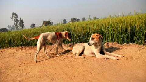 Canine communication