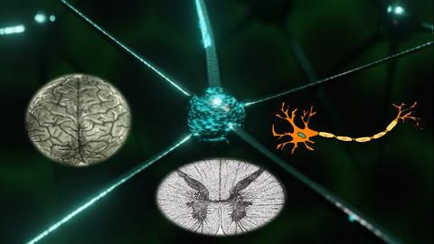 Naturopathie cours n° 10- Le système nerveux du corps humain
